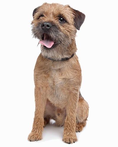 border_terrier