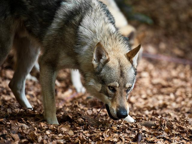 czechoslovakian_wolfdog
