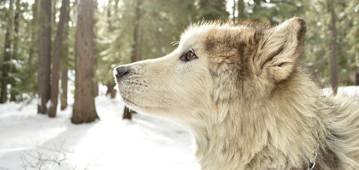 12 Dogs That Look Like Wolves The Best Wolf Dog Breeds