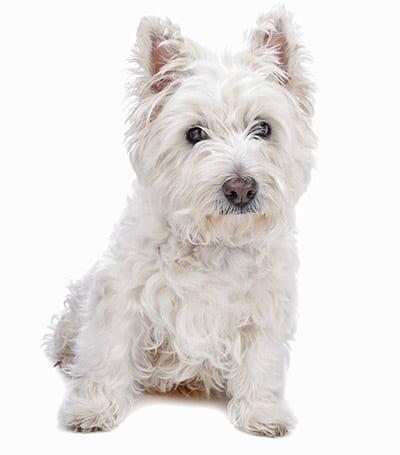 west_highland_white_terrier