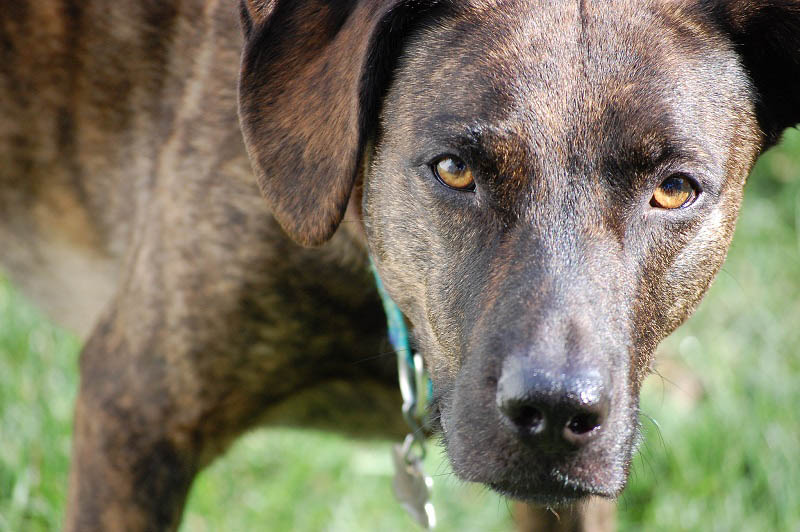 What Are Brindle Labradors A Quick Guide