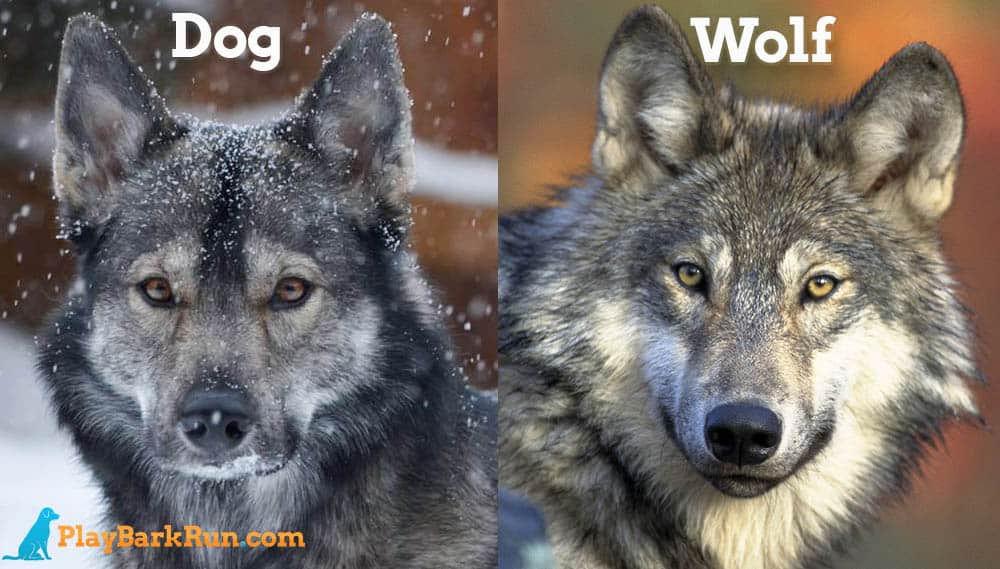 Closest Domestic Dog Breed To Wolf