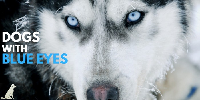 dogs-with-blue-eyes