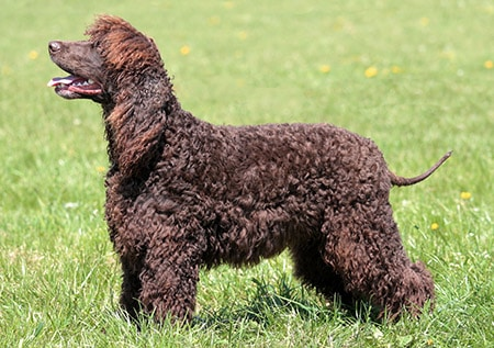 irish_water_spaniel