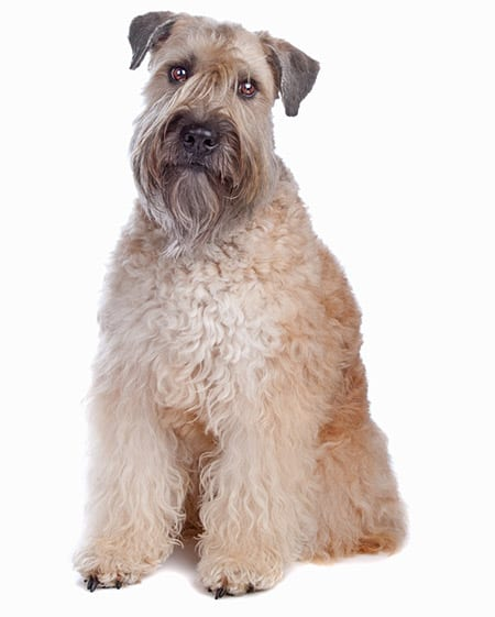 wheaten_terrier