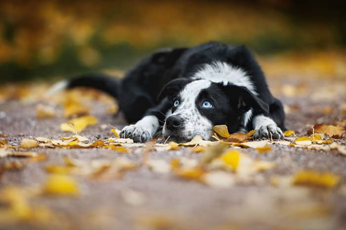 Dogs with Blue Eyes - Causes, Dangers, & Breeds