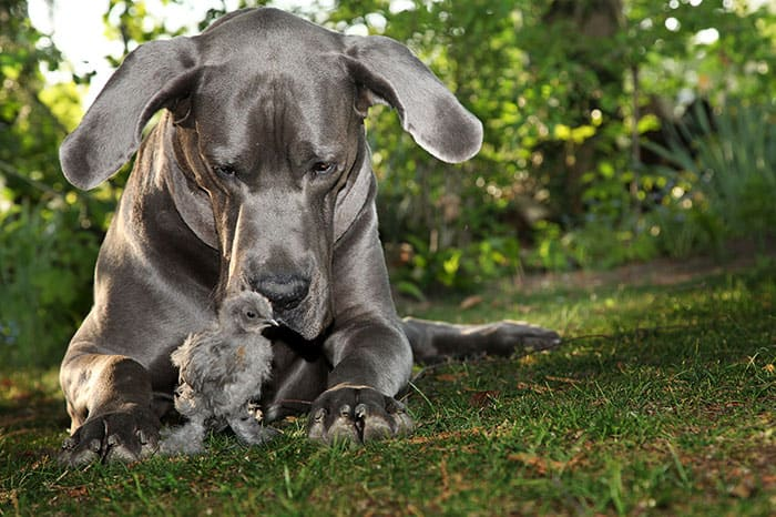 greatdane_chick