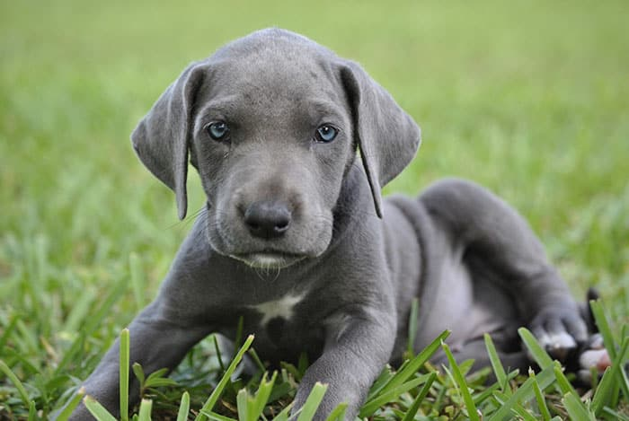 Dogs With Blue Eyes Causes Dangers