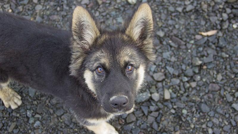 German Shepherd Shedding The Full Guide To Control Dog Shedding