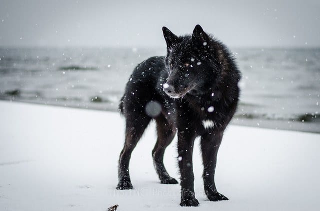 Alaskan Noble Companion Dog